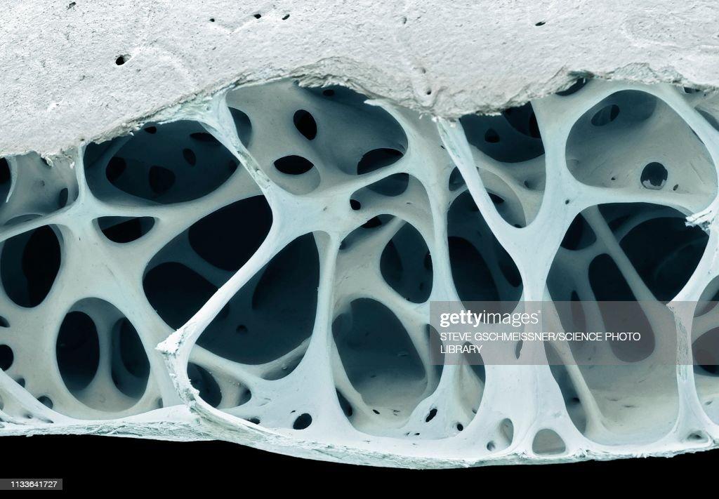 Bird bone tissue, SEM : Stock Illustration