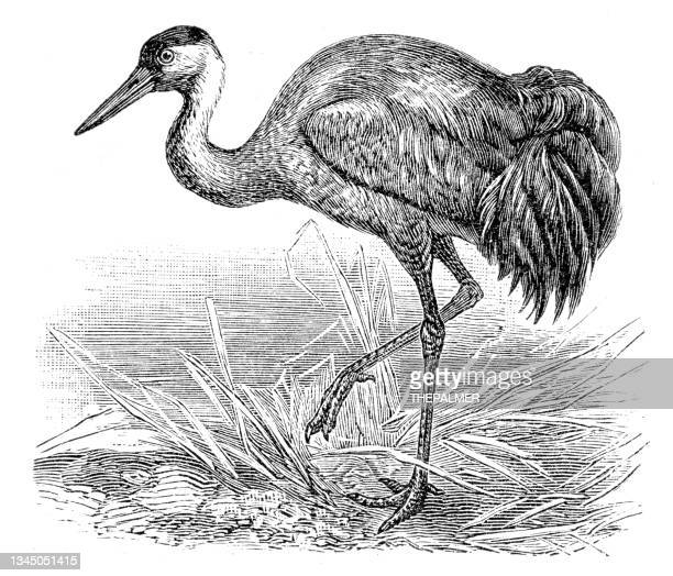 bird common crane engraving 1899 - water bird stock illustrations