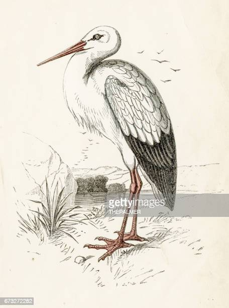 bird engraving 1851 - crane bird stock illustrations