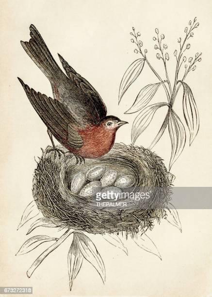 bird engraving 1851 - birds nest stock illustrations