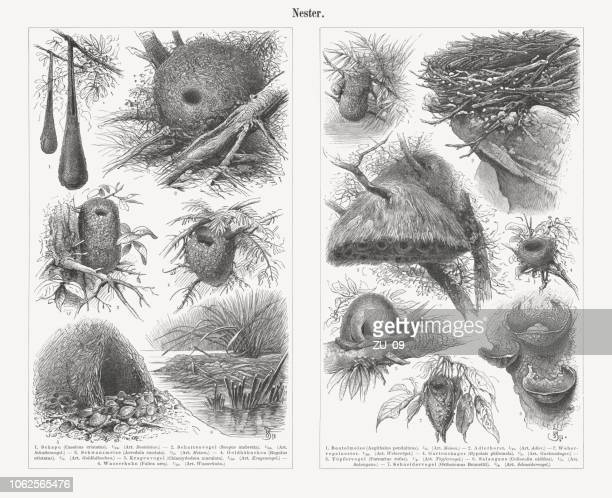 bird nests, wood engravings, published in 1897 - rufous hornero stock illustrations, clip art, cartoons, & icons