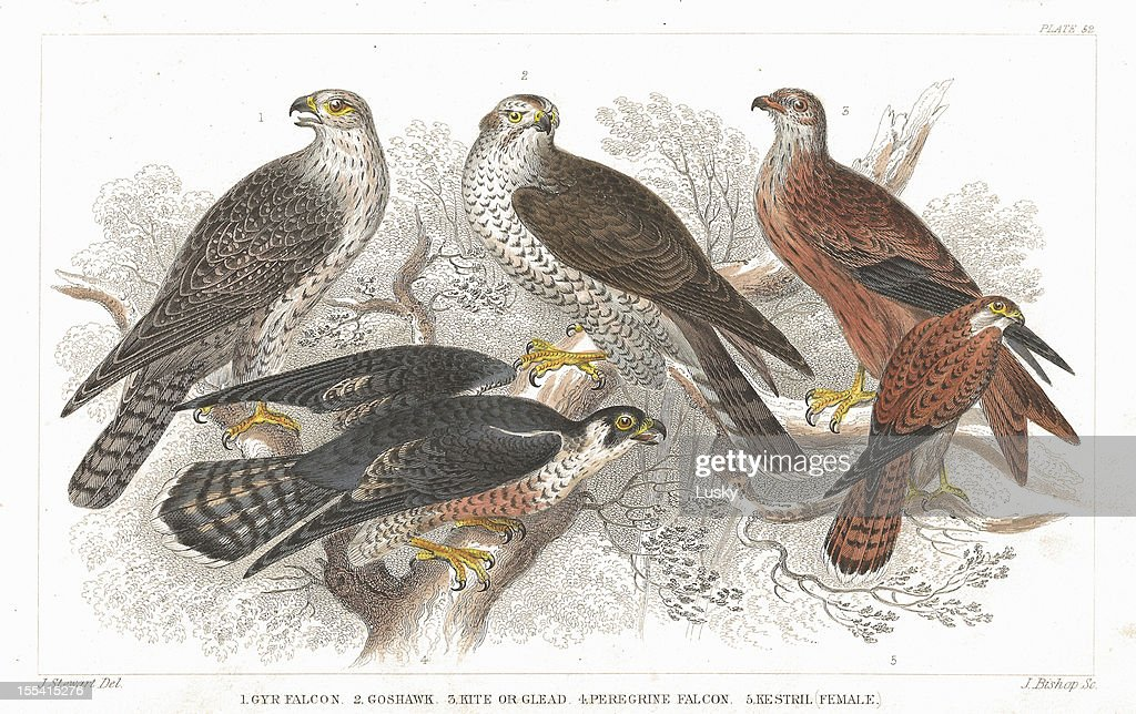 Bird of Prey old litho print from 1852 : stock illustration