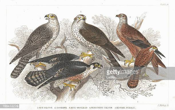 bird of prey old litho print from 1852 - talon stock illustrations