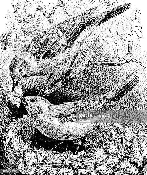 鳥の巣(ペアビルビュービクトリアイラストレーション