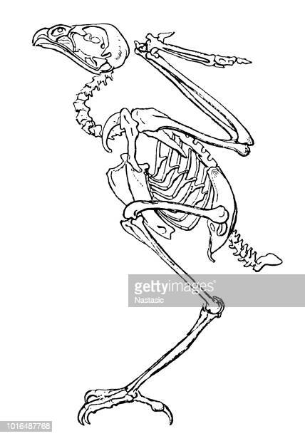 ilustrações de stock, clip art, desenhos animados e ícones de a bird (falcon) skeleton - falcon bird