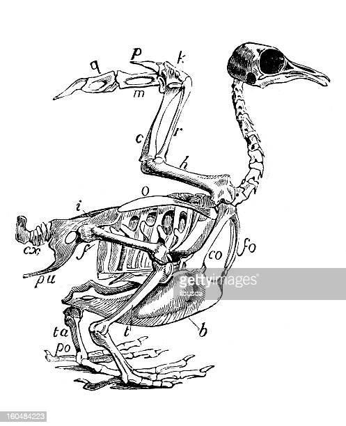ilustrações, clipart, desenhos animados e ícones de esqueleto de pássaros - zoologia