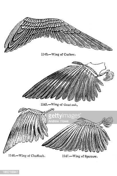 Bird Wing Illustrations