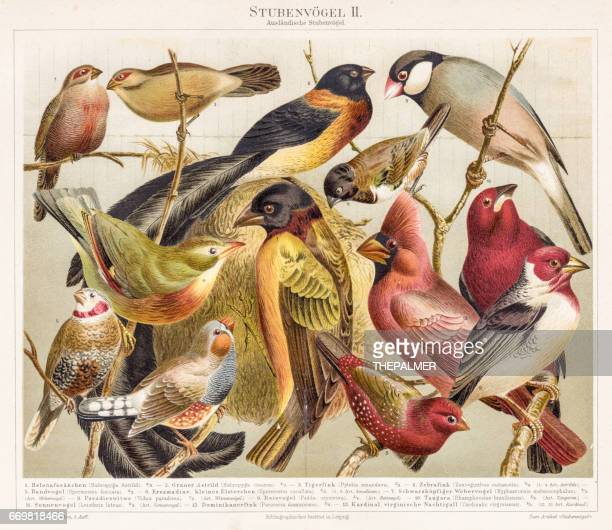 ilustrações, clipart, desenhos animados e ícones de aves chromolithograph 1895 - impressão ilustração