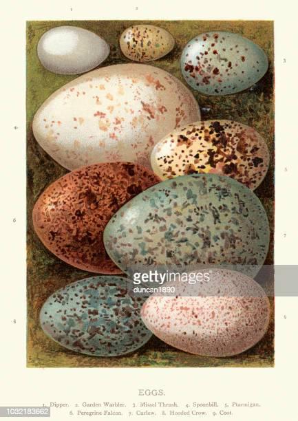 birds eggs, dipper, warbler, thrush, spoonbill, ptarmigan, falcon, curlew, crow - peregrine falcon stock illustrations, clip art, cartoons, & icons