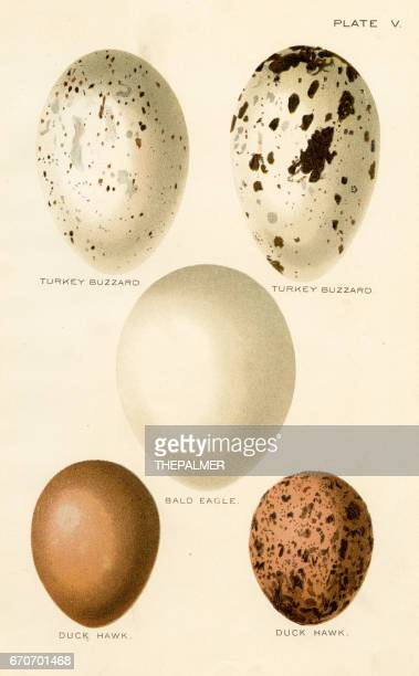 birds eggs lithograph 1897 - animal egg stock illustrations, clip art, cartoons, & icons