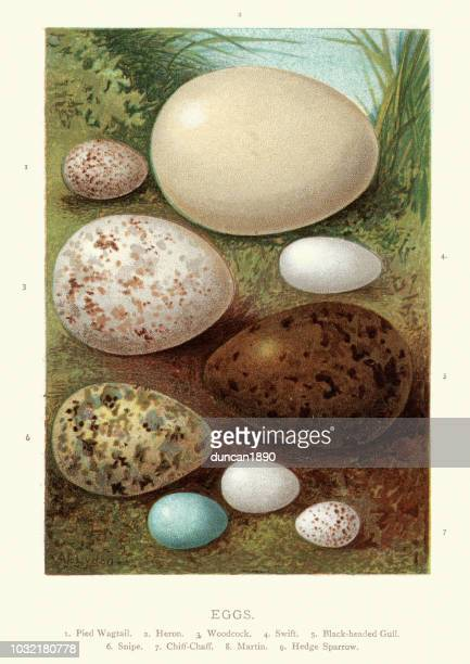 birds eggs, wagtail, heron, woodcock, swift, gull, snipe chiff-chaff, martin - lithograph stock illustrations