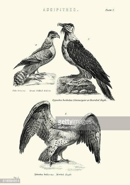 ilustrações de stock, clip art, desenhos animados e ícones de aves-falcão, águia aguentado e águia-marcial - falcon bird