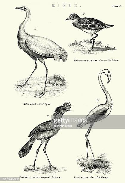 birds - great egret, thick-knee, marcgrave's cariama, red flamin - flamingo stock illustrations, clip art, cartoons, & icons