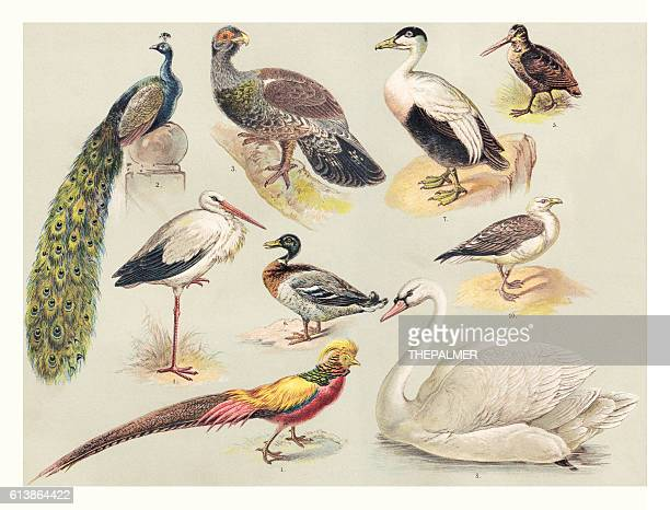 illustrations, cliparts, dessins animés et icônes de birds illustration 1888 - cigogne