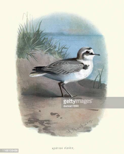 birds, kentish plover (charadrius alexandrinus) - kentish plover stock illustrations