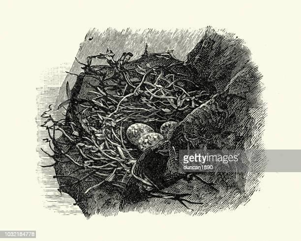 birds nest and eggs of peregrine falcon (falco peregrinus) - peregrine falcon stock illustrations, clip art, cartoons, & icons