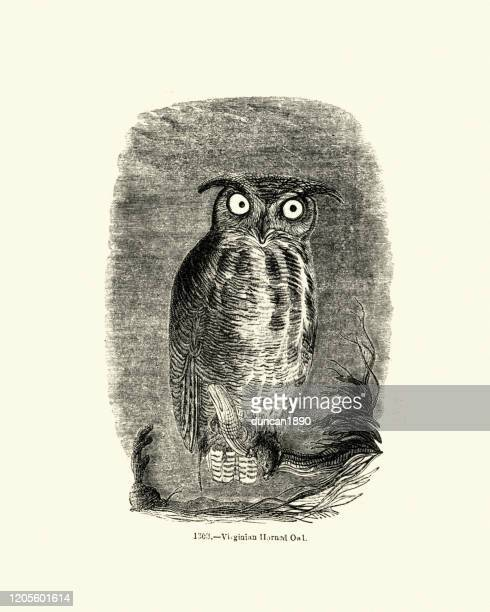 birds of prey, owls, virginian horned owl - great horned owl stock illustrations
