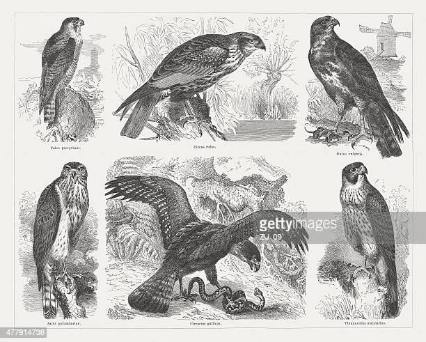 birds of prey, wood engravings, published in 1878 - peregrine falcon stock illustrations, clip art, cartoons, & icons