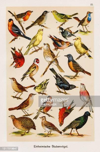 birds ornithology chromolithography 1899 - zoology stock illustrations