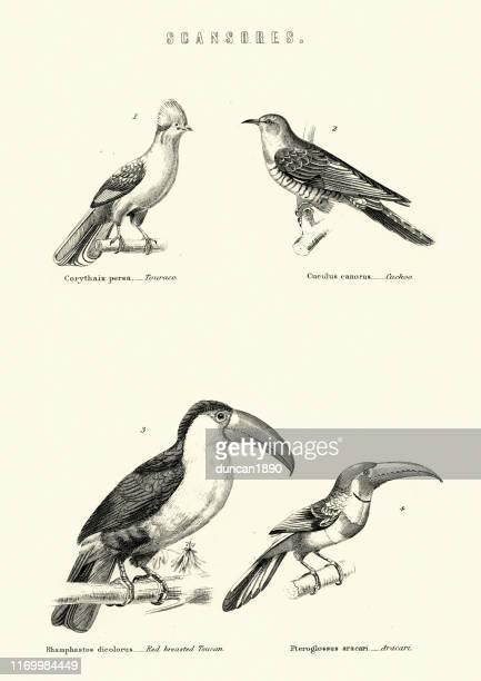 birds, touraco, cuckoo, red breasted toucan, aracari 19th century - toucan stock illustrations