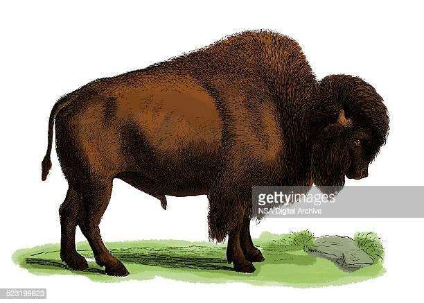 Bison (antique engraving)
