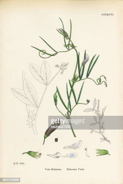 bithynian vetch, vicia bithynica, victorian botanical illustration, 1863 - perennial stock illustrations, clip art, cartoons, & icons