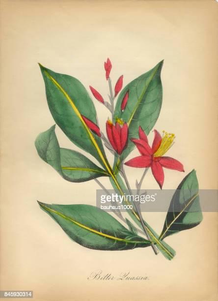 Amer Quassia Victorian Botanical Illustration