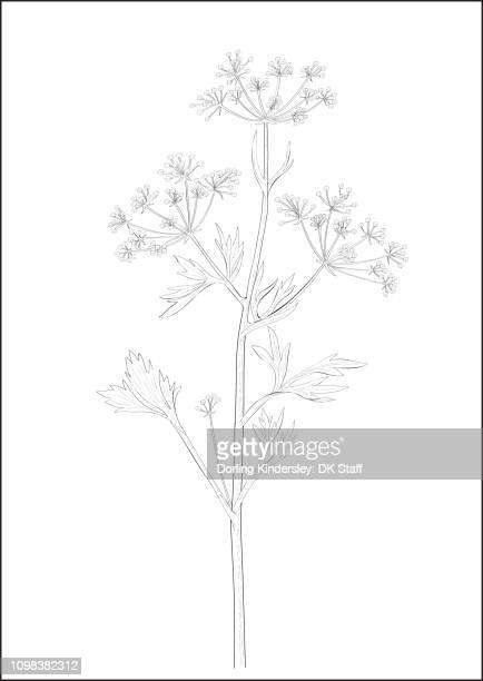 Black and white digital illustration of Anise plant