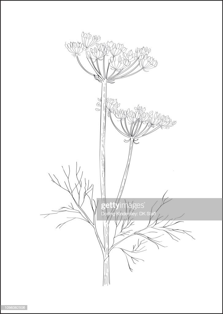 Black And White Digital Illustration Of Dill Plant High Res Vector Graphic Getty Images