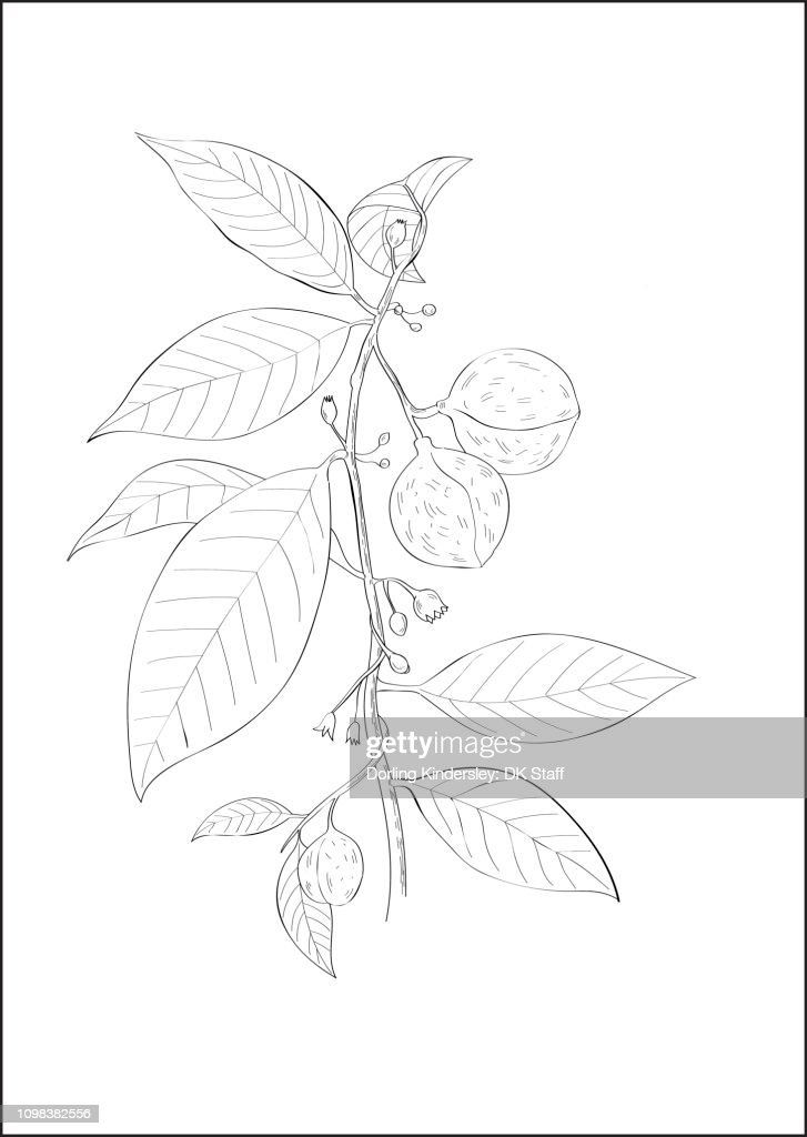 Black And White Digital Illustration Of Nutmeg Plant High Res Vector Graphic Getty Images