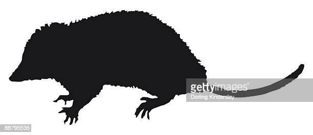 illustrazioni stock, clip art, cartoni animati e icone di tendenza di black and white digital illustration of opossum (didelphidae), marsupial with sharp claws and long tail - opossum