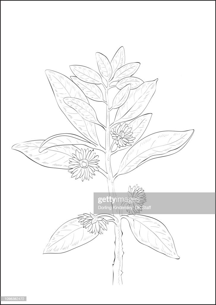 Black And White Digital Illustration Of Star Anise Plant High Res Vector Graphic Getty Images