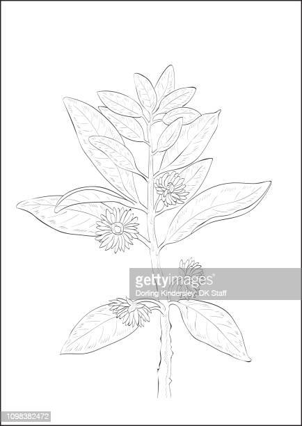 Black and white digital illustration of star anise plant