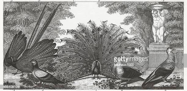 Black and white engraved image of peacocks and gamebirds.