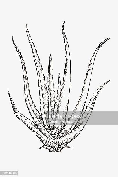Black and white illustration of Aloe Vera syn. A. barbadensis, succulent with lanceolate, thick and fleshy leaves