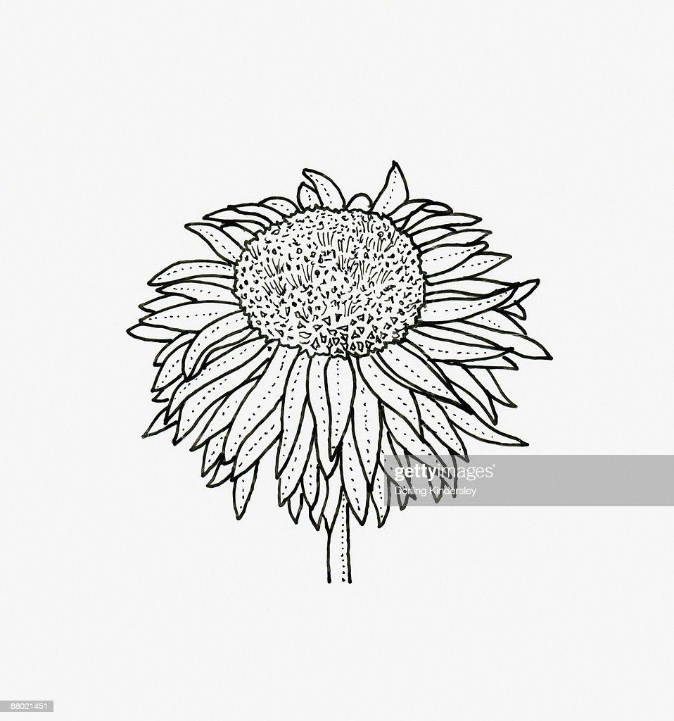Black and white illustration of anemone Chrysanthemum flower head : stock illustration