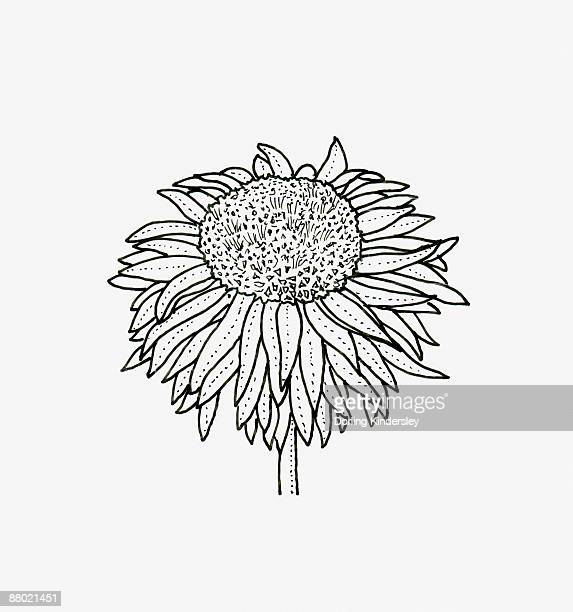 Black and white illustration of anemone Chrysanthemum flower head