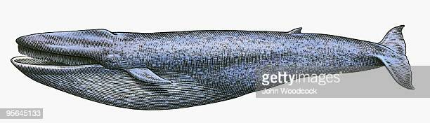black and white illustration of blue whale (balaenoptera musculus) - black studio点のイラスト素材/クリップアート素材/マンガ素材/アイコン素材