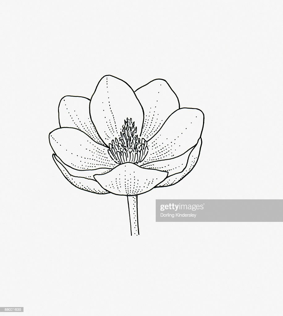 Black And White Illustration Of Cupshaped Magnolia Flower Head Stock