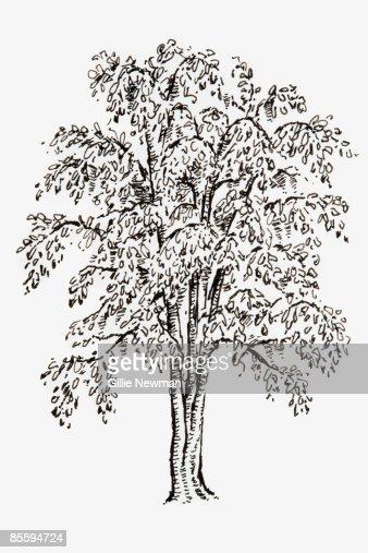 black and white illustration of ginkgo biloba living
