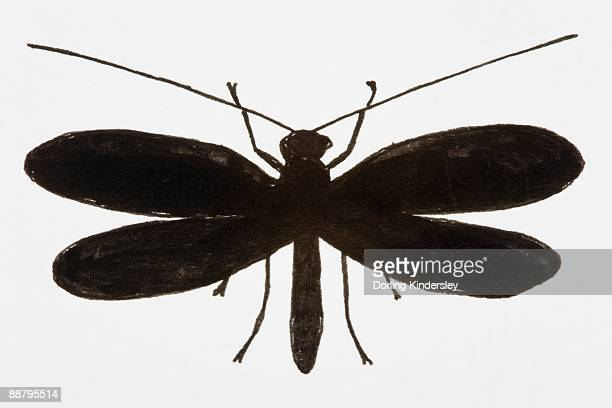 Black and white illustration of Lacewing (Neuroptera)