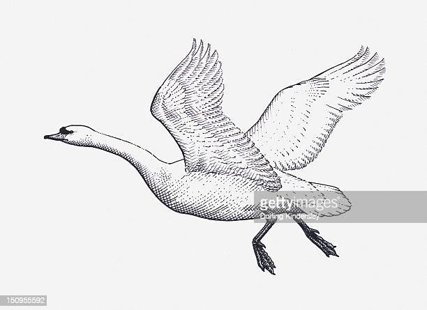 Black and white illustration of Mute Swan (Cygnus olor) in flight