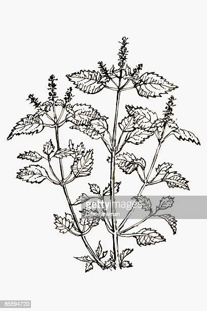 black and white illustration of ocimum sanctum (holy basil, tulsi, tulasi, kemangen), plant with toothed leaves and spikes of small flowers - basil stock illustrations, clip art, cartoons, & icons