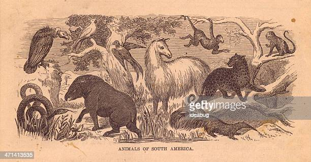 Black and White Illustration of South American Animals, From 1800's