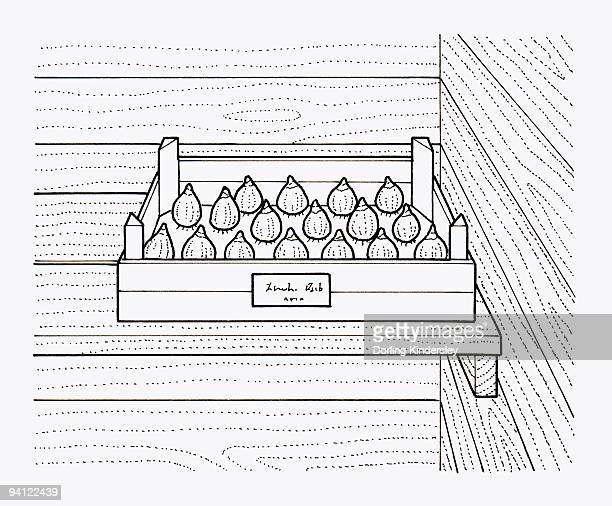 Black and white illustration of storing bulbs in tray inside shed, labelled with date and type of bu