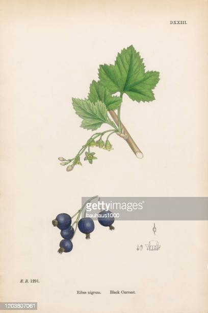 ブラック・カラント、リベス・ニグラム、ビクトリア朝の植物イラスト、1863年 - 精油点のイラスト素材/クリップアート素材/マンガ素材/アイコン素材