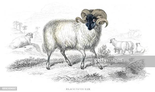 black faced ram lithograph 1884 - ram animal stock illustrations, clip art, cartoons, & icons