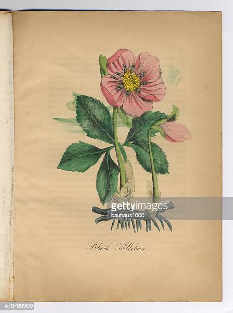 Black Hellebore Victorian Botanical Illustration