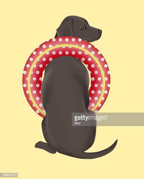 Black Labrador Retriever with inner tube, rear view, orange background