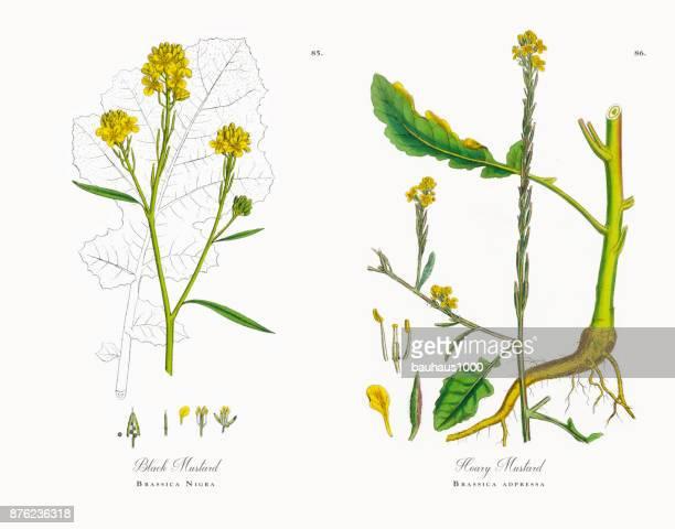 黒カラシナ、アブラナ黒、ビクトリア朝の植物図、1863